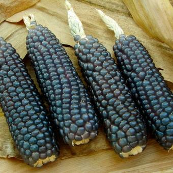 Кукуруза: полезные свойства, калорийность, консервированная кукуруза